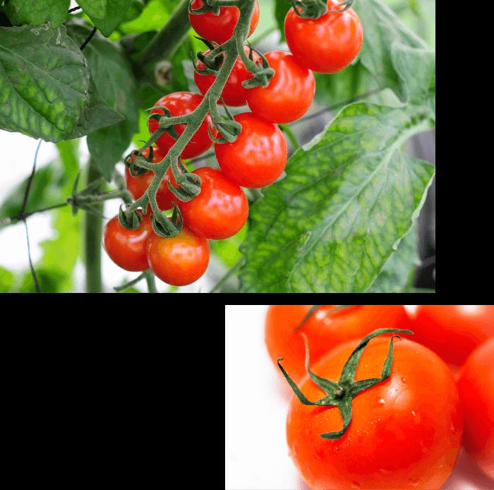 トマト農家さま
